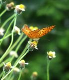 Beautiful butterfly feeding on the flowering grass stock photography