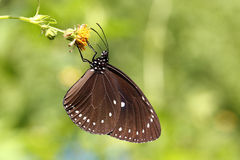 Beautiful Colorful  butterfly in nature. Butterfly detail insect macro natural ecology flowers and plants photo album Bright Mating Insect Absorbent Stone Royalty Free Stock Photo
