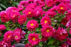 Beautiful and colorful chrysanthemum flower bloom in autumn stock photography
