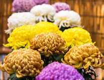 Beautiful colorful chrysanthemums in a closed Japanese garden. Close-up. Beautiful colorful chrysanthemums in a closed Japanese garden. Close-up Stock Image