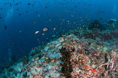 Beautiful colorful coral reef and tropical fish underwater in Ma Royalty Free Stock Photography