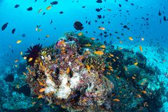 Beautiful colorful coral reef and tropical fish underwater in Ma Royalty Free Stock Images