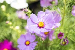 Beautiful colorful cosmos flower over blurred green garden background, nature concept. Spring season Stock Photos