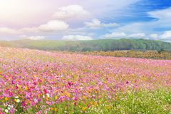 Beautiful of colorful cosmos flowers field. In blue sky background royalty free stock photo