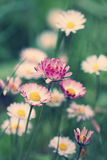 Beautiful colorful daisies in green grass royalty free stock photo