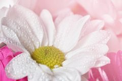 Beautiful colorful daisy flowers.Gerbera. Spring background - garden. Stock Images