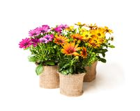 Beautiful  colorful daisy flowers in small pots decorated with s Stock Image