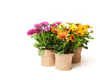 Beautiful  colorful daisy  flowers in small pots decorated with s Royalty Free Stock Image