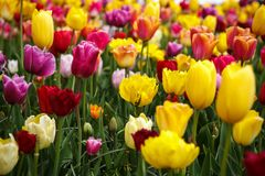 Beautiful flower garden with colorful blooming flowers Royalty Free Stock Photo