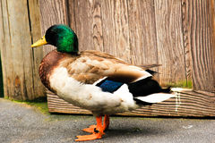 Beautiful and Colorful Duck. A beautiful duck seen with all different colors in her feathers stock photography