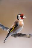 European Goldfinch (Carduelis carduelis) closeup Stock Photos