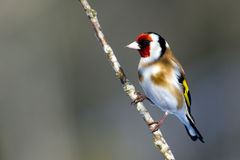 European Goldfinch (Carduelis carduelis) Royalty Free Stock Image