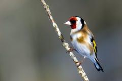 European Goldfinch (Carduelis carduelis) Royalty Free Stock Image