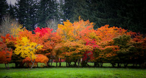 Beautiful Colorful Fall Trees. A wonderful stand of bright fall colored trees royalty free stock image
