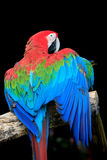 Beautiful colorful feather of scarlet macaws bird perching on  d Royalty Free Stock Photography