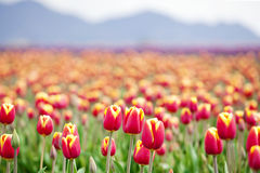 Beautiful colorful field of tulips Royalty Free Stock Photography