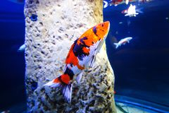 A beautiful colorful fish in an aquarium. A beautiful colorful fish in a national aquarium of Malta Stock Photos