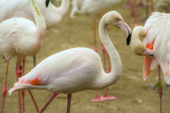 Beautiful and colorful flamingo. At the zoo stock photo