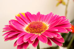 Beautiful colorful flower. Colorful flower caught in the famous Madeira Flower Festival Royalty Free Stock Image