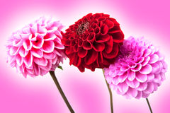 Beautiful colorful flower. Royalty Free Stock Image