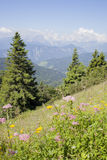 Beautiful colorful flowers high in slovenian mountains Royalty Free Stock Images