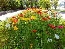 Beautiful colorful flowers in the park poppies Isola Madre, the Borromean Islands, Stresa, Piedmont, Lombardy, Italy Royalty Free Stock Photos