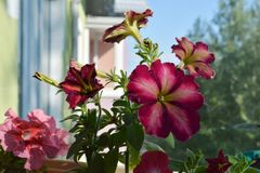 Beautiful colorful flowers of Petunia hybrida in small garden on the balcony.  stock images