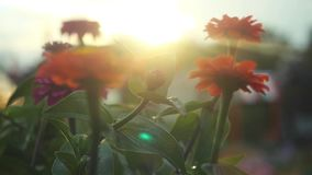 Beautiful colorful flowers in the summer garden in slowmotion with sunshine and lense flare effects. 1920x1080. Hd stock footage