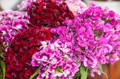 BEAUTIFUL COLORFUL FLOWERS TURKISH CARNATION Stock Photos