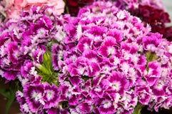 BEAUTIFUL COLORFUL FLOWERS TURKISH CARNATION Royalty Free Stock Image