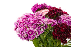 BEAUTIFUL COLORFUL FLOWERS TURKISH CARNATION Royalty Free Stock Photography