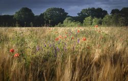 Beautiful colorful flowers in wheat field landscape Stock Photos