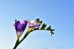 Beautiful colorful freesia in the sunshine royalty free stock image