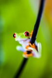 Beautiful colorful frog Royalty Free Stock Photography