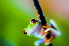 Beautiful colorful frog Royalty Free Stock Images