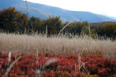 Beautiful colorful frozen foliage in the autumn. Bieszczady moun Stock Images