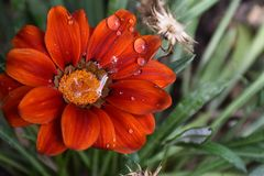 Beautiful colorful gazania close up in my garden royalty free stock photo