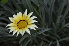 Beautiful colorful gazania close up in my garden stock image