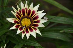 Beautiful colorful gazania close up in my garden royalty free stock image