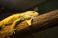 Colorful lizard at Oslo reptile museum royalty free stock photography