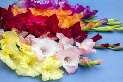 Beautiful colorful gladiolus on blue backdrop Stock Photos