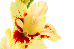 Beautiful colorful gladiolus isolated background Royalty Free Stock Photo
