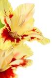 Beautiful colorful gladiolus isolated Stock Photo