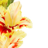 Beautiful colorful gladiolus isolated square background Royalty Free Stock Photos