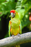 Beautiful Colorful Green Parrot Royalty Free Stock Image
