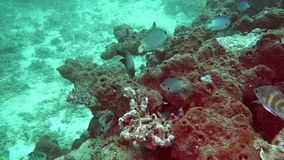 Beautiful colorful hard and soft corals in underwater in ocean ,Bali ,Indonesia. Beautiful colorful hard and soft corals in underwater in ocean ,Bali Indonesia stock video