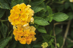Beautiful Colorful Hedge Flower,Lantana, Weeping lantana,Lantana Stock Photo
