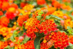Beautiful Colorful Hedge Flower, Weeping Lantana Royalty Free Stock Images