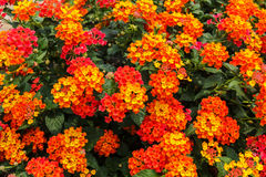 Beautiful Colorful Hedge Flower, Weeping Lantana Stock Photos