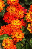 Beautiful Colorful Hedge Flower, Weeping Lantana Royalty Free Stock Image